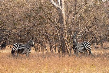 Zèbres en Afrique sur Francis Dost