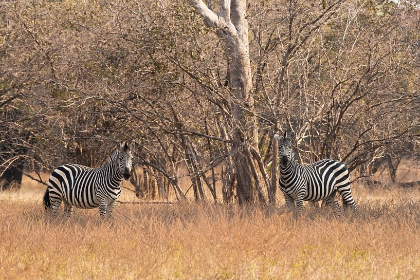 Zebra's in Afrika  van Francis Dost