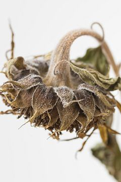 Traurige Sonnenblume in Nahaufnahme von Iris Koopmans
