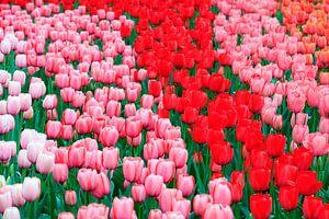 Rood roze en wit tulpenveld