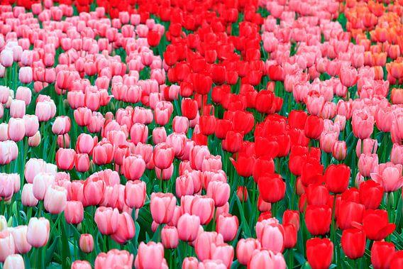Rood roze en wit tulpenveld van Dennis van de Water