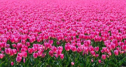 Tulpenveld in de lente