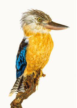 Curiosity Cabinet_Bird_05 Kookaburra von Marielle Leenders