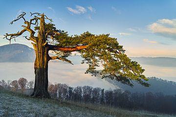 oude pijnbomen van CSB-PHOTOGRAPHY