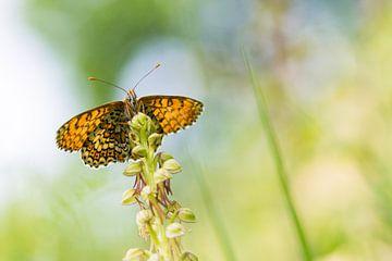 Velparelmoervlinder op poppenorchis van Francois Debets