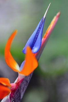 Paradijsvogelbloem von