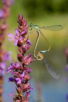 Libellen op paarse bloem van Martin Stevens