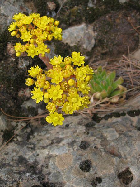 Vetplant met bloem van Adrie Berg