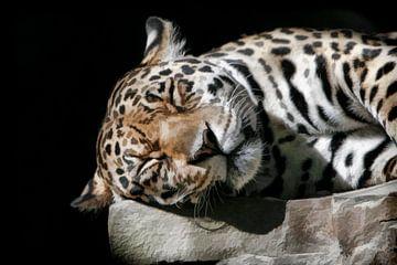 Schlafender Amur-Leopard von Michar Peppenster