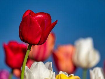 Rode tulp - geisoleerd maar niet alleen van Ed Steenhoek