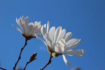 magnolien von Gerda Guichelaar
