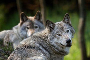 Loup Gris avec le même regard van Renald Bourque