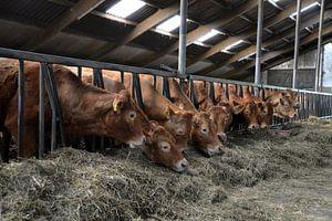 Koeien in de stal