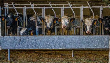 Etenstijd in de koeienstal van Mike Broers