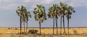 'Verdwaalde' palmbomen in de woestijn, Etosha