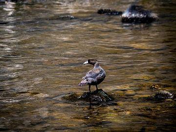 De speciale Blue Duck van Nieuw-Zeeland van Rik Pijnenburg