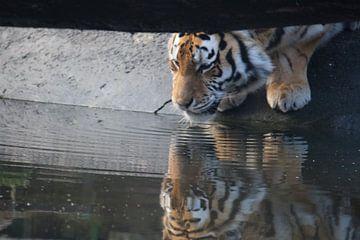 drinkende tijger von Jop Fotografie