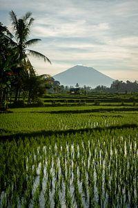 Nieuwe rijst in Ubud 4