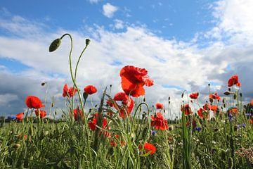 Mohnblumen von Ostsee Bilder