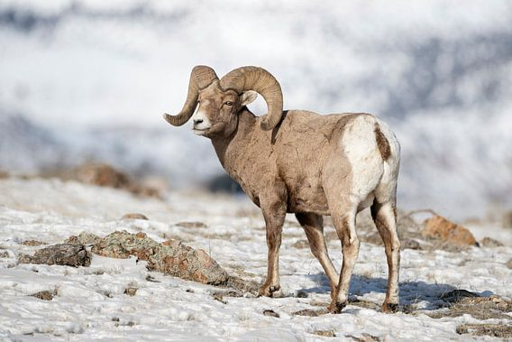 Rocky Mountain Bighorn Sheep ( Ovis canadensis ),  ram in snow
