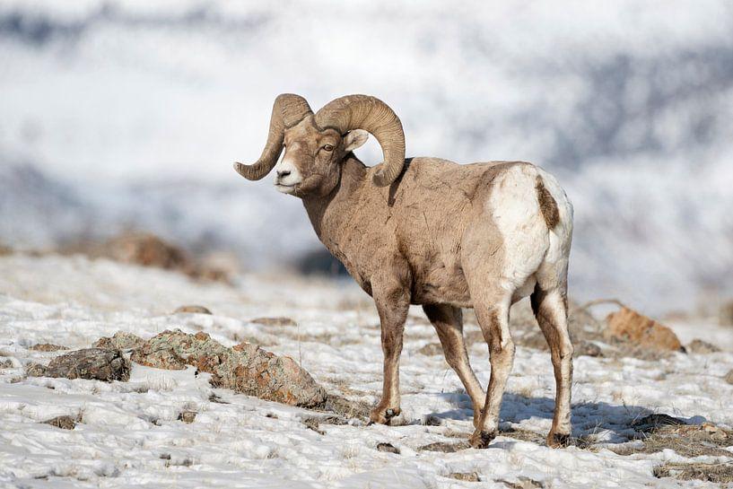 Rocky Mountain Bighorn Sheep ( Ovis canadensis ),  ram in snow van wunderbare Erde