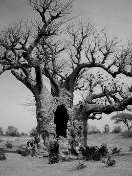 baobab b&w von joost vandepapeliere