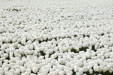 Witte tulpen tulp sur W J Kok