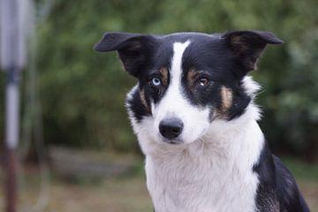Makker, Husky x Border collie dog von The1CC Photography