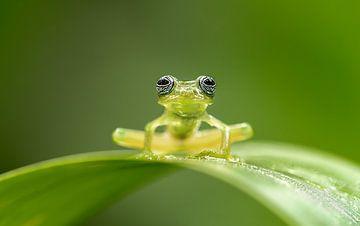 Groen op groen (kikker) van Gladys Klip