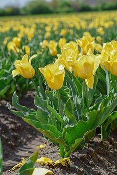 Veld met gele tulpen von Kim de Been