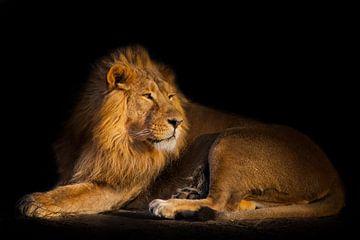 leeuw op een zwarte achtergrond. krachtig knap leeuwenmannetje met prachtig haar ligt op de grond en van Michael Semenov