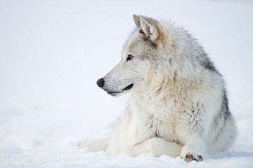 Wolf / Grauwolf / Timberwolf ( Canis lupus ) im Winter, liegt im Schnee, Yellowstone Nationalpark, U von wunderbare Erde