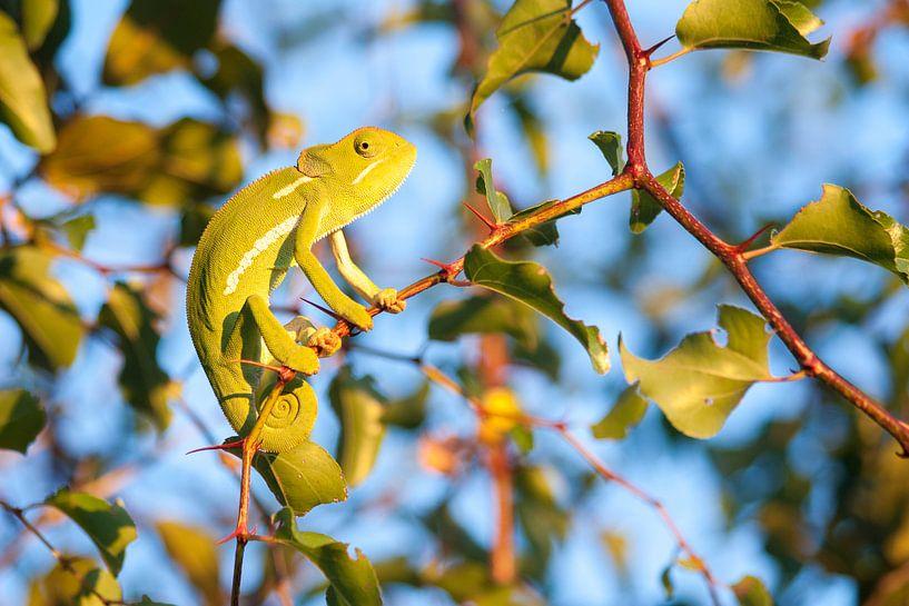 Kameleon - Zuid-Afrika van Karin Verhoog