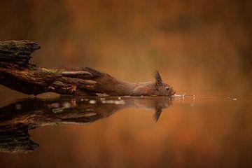 Eichhörnchen findet eine Nuss von Erwin Stevens