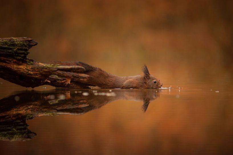 Eekhoorn vind een nootje van Erwin Stevens