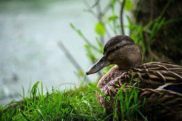 Canard au lac