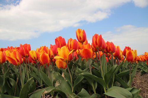 Geel rode tulpen in het veld van André Muller