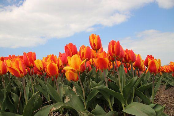 Geel rode tulpen in het veld