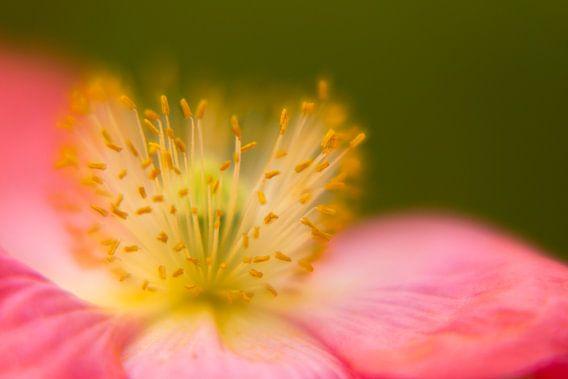 Hart van een bloem. Klaproos Munnickenhof, Terheijden, Noord Brabant, Holland, Nederland afbeelding