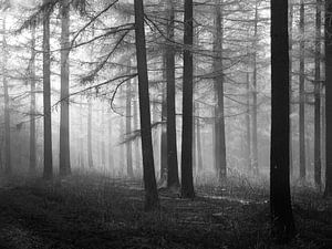 Wald aus Lärchenbäumen in Schwarz-Weiß