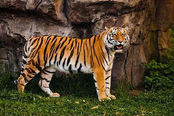 Ein stolzer, geschmeidiger Tiger steht wunderschön an einer Steinklippe. Wunderschöne kräftige große von Michael Semenov
