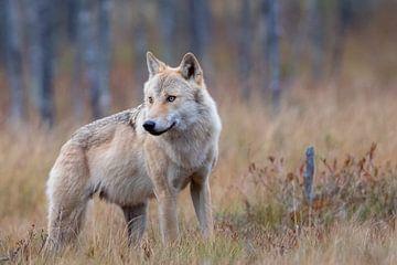 Wolf Finland von Han Peper