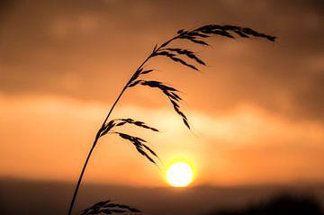Schilf vor Sonnenuntergang. von Robert Snoek
