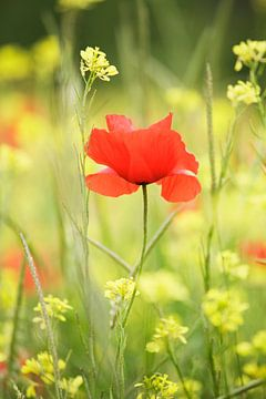 Wildblumenwiese mit Mohn, Val d'Orcia, Toskana, Italien von Markus Lange