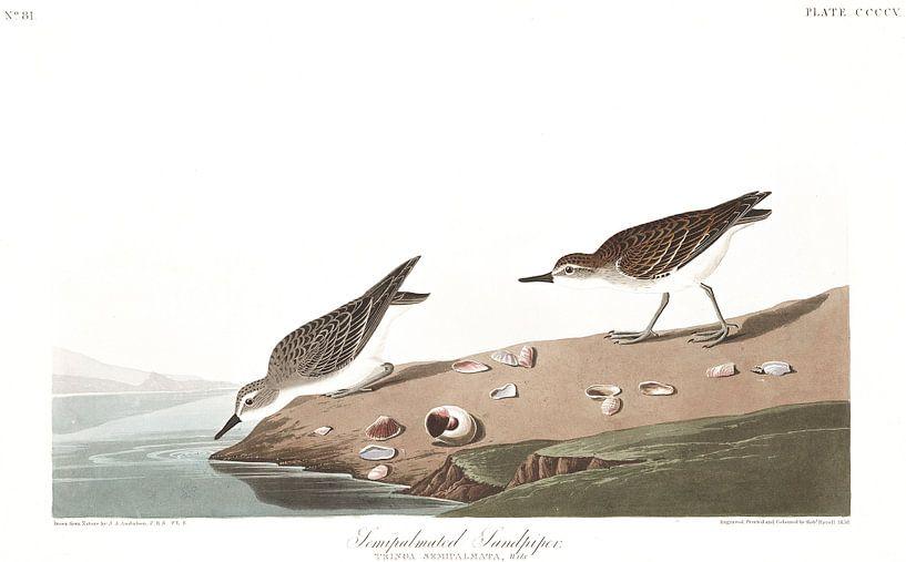 Grijze Strandloper van Birds of America