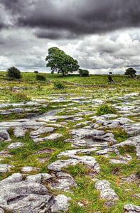 Boom in het kalksteenlandschap van The Burren, Ierland.
