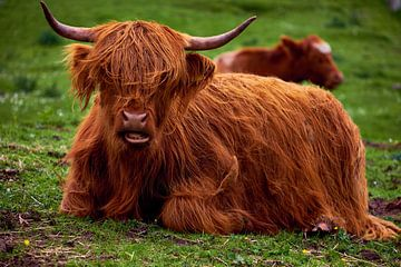 Schotse Hooglander stier van Ineke Huizing