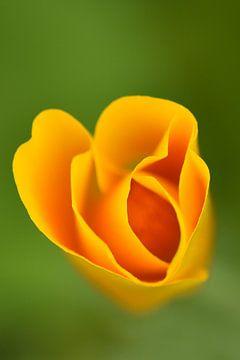 Veldbloem oranje