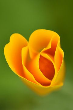 Veldbloem oranje van Sascha van Dam