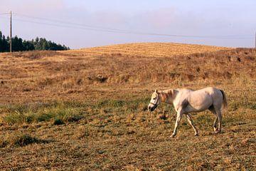 Wit paard op het Portugese platteland von Deborah S